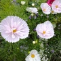 Pretty pale pink Cosmos