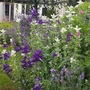 Salvia viridis and lavenders