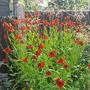 Helenium Moorheim Beauty