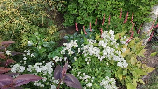 New combo (not new plants) Astrantia major variagated with Persicaria Orangefield