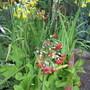 Primula florindae (For my File) (Primula florindae)