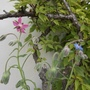 Borage - pink and blue flowers.