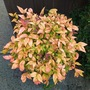 Nandina Domestica has turned colour to a pale peach.