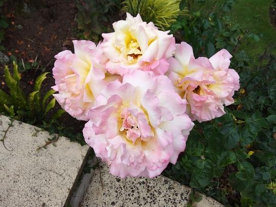 Rose Peace..