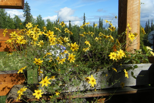 Bidens nd porch view (Bidens ferulifolia)