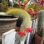 Flowering Monkey Tail.