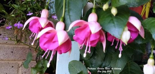Fuchsias 'Garden News' on balcony 21st July 2021 (Fuchsia)