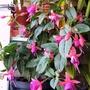 Fuchsias 'John Grooms' on balcony 20th July 2021 (Fuchsia)