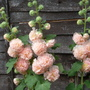 Hollyhock  Chaters double pink