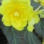 Big Yellow Begonia