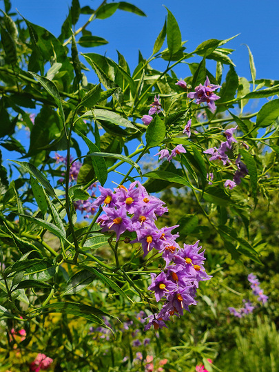 Solanum glasnevin in the afternoon sun.