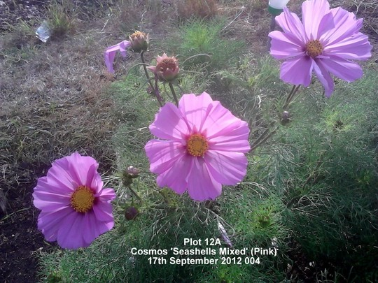Plot 12A Cosmos 'Seashells Mixed' (Pink) 17th September 2012 (Cosmos bipinnatus (Cosmos))
