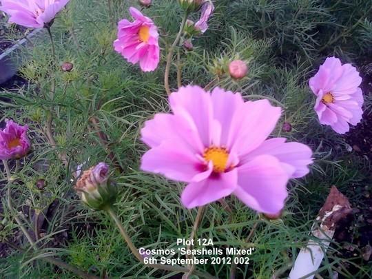 Plot 12A Cosmos 'Seashells Mixed' (Up close) 17th September 2012 (Cosmos bipinnatus (Cosmos))