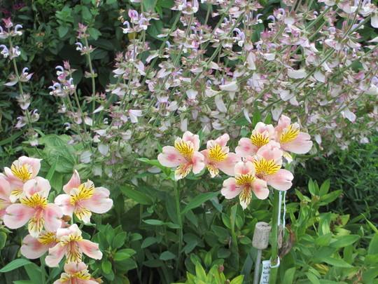 Alstromeria Selina (Alstroemeria)