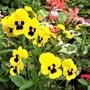 Small Violas in a pot