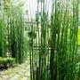 Equisetum (Equisetum)