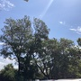 Giant Jacaranda Trees