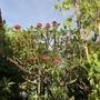Plumeria 'Plastic Pink'