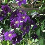 This clematis has done very well this year.
