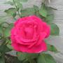 Rose Scentimental