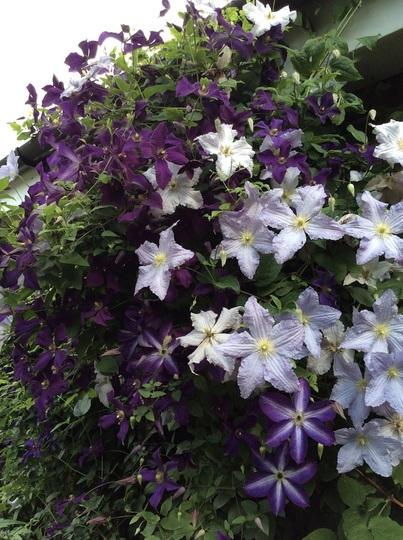 "Clematis ""Blue Angel', 'Etoile Violette' and 'Venosa Violacea'"