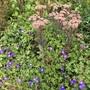 Geranium 'Azure Rush' and sedum telephium