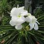 Spiny plant flower. (Pachypodium lamerei)