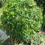 Choisya ternata (Mexican Orange Blossom)