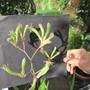 Anigozanthos flowerhead (pic for Klanhie) (Anigozanthos (flavidus? (Tall kangaroo paw))