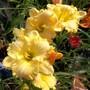 Daylily yellow with ruffles.