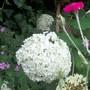 Hydrangea 'Snowball'.