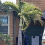 Hyophorbe lagenicaulis - Bottle Palm