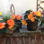 Begonias, rescued from Home base.