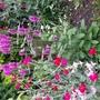 Stachys spicata
