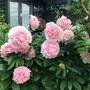 Paeonia Sarah Bernhardt  (Paeonia)