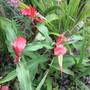 Roscoea purpurea Red Gurka (update) (Roscoea purpurea)