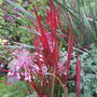 Imperiata cylindrica Red Baron (Imperiata cylindrica)