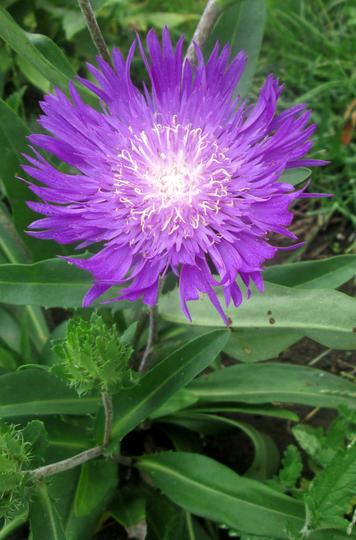 Honeysong Purple