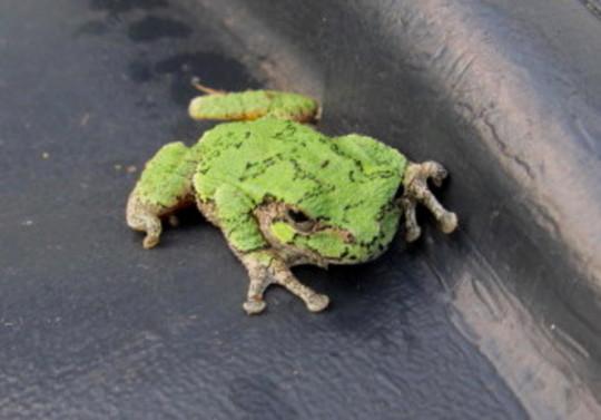 Tiny gray tree frog.  summer 2021