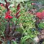 Lobelia cardinalis Queen Victoria (Lobelia cardinalis (Cardinal flower))