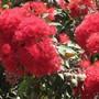 Corymbia. (Corymbia)