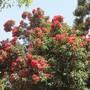 Corymbia in bloom.