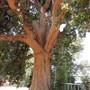 Corymbia trunk (Corymbia)