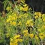 Cassia in bloom. (Cassia fistula (Golden shower tree))