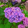 Hydrangea, violet, blue and pinkish hues. (Hydrangea macrophylla (Hortensia))