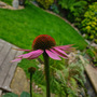 Echinacea, it's hanging on in there… (Echinacea purpurea (Coneflower))