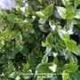 Tradescantia fluminensis flowering on balcony 2nd July 2021 (Trandescantia Zebrina)