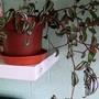 Tradescantia zebrina in living room 1st July 2021 (Trandescantia Zebrina)