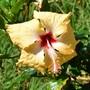 Hibiscus 'Sri Lanka'