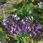 Agapanthus_poppin_purple